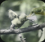 Northern Yellowthroat and Young, Kent, Connecticut