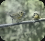 Female Northern Yellowthroat Feeding Young, Kent, Connecticut