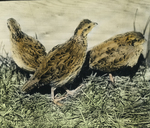 Young Quails, One Sick, Storrs, Connecticut
