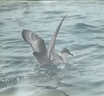 Greater Shearwater, Chatham, Massachusetts