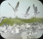 Laughing Gulls Leaving Shore, Battledore Island, Louisiana
