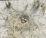 Nest of Common Tern, Magdalen Islands [Quebec]