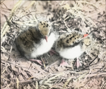 Young Common Terns, Cobb's Island, Virginia