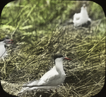 Forster's Terns Nesting, Sundown Island, Louisiana