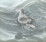 Sooty Shearwater, Chatham, Massachusetts