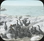 Young Double-crested Cormorants, Waterhen Lake, N. Manitoba