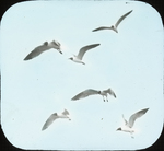 Laughing Gulls over Nests, Battledore Island, Louisiana
