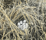 Nest of Clapper Rail, Virginia