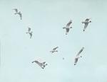 Franklin's Gulls, Assiniboia [Canada]