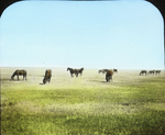 Horses on Range, Saskatchewan