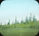 Typical Timber, Lake Winnipegosis, N. Manitoba