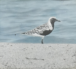 Black-bellied Plover, Florida Keys