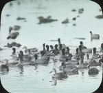 Coots and Teals, McIlhenny's, Louisiana [Avery Island?] by Herbert Keightley Job