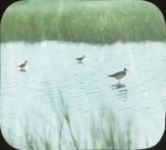 Lesser Yellowlegs on Marsh, N. Manitoba