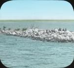 Cormorant Rookery, Waterhen Lake, N. Manitoba