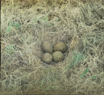 Nest of Great Marbled Godwit, Assiniboia [Canada]