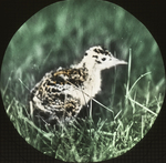 Young Upland Plover [Upland Sandpiper], Saint Marks, Manitoba