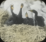 Young Double-crested Cormorants, N. Manitoba