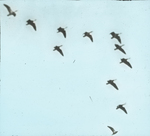 Blue Geese [Snow Geese], Chenier Tigre [Cheniere au Tigre], Louisiana