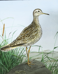 Bartramian Sandpiper [Upland Sandpiper or Upland Plover, watercolor drawing]