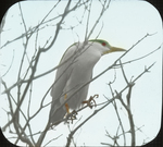 Black-crowned Night-Heron Returning to Nest, Barnstable, Massachusetts
