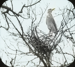 Black-crowned Night-Heron Building Nest, Barnstable, Massachusetts