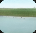 Brood of Large Young Green-winged Teal, N. Manitoba