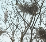 Black-crowned Night-Herons in Rookery, Barnstable, Massachusetts