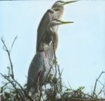 Great Blue Herons on Nest, Saskatchewan