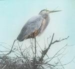 Great Blue Heron on Nest, Assiniboia [Canada]