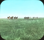 Horses and Mules, Saint Marks, Manitoba
