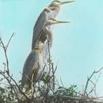 Great Blue Herons on Nest, Assiniboia [Canada]