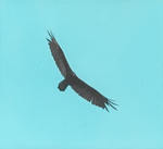 Turkey Buzzard [Turkey Vulture] Soaring, South Florida
