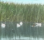 Franklin's Gulls and American Eared Grebe, Assiniboia [Canada]