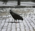 Black Buzzard [Black Vulture] in Street, Charleston, South Carolina