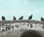 Black Buzzards [Black Vultures], Charleston, South Carolina