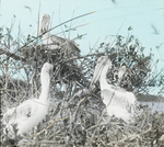 Young Brown Pelicans on Mangrove, Florida