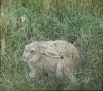 Jack Rabbit, Assiniboia [Canada]