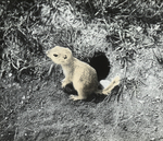Gopher by Hole, North Dakota