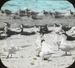 Skimmers and Royal Terns, Battledore Island, Louisiana
