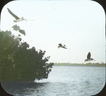 Brown Pelicans on Bird Island Reserve, off Tampa, Florida