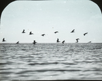 Brown Pelicans Leaving Bar, Louisiana