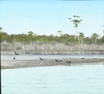 Grackles on Shore, Cat Island, Mississippi