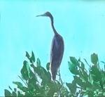 Little Blue Heron, South Florida