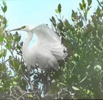 Snowy Heron on Nest, Dutcher's Island, Louisiana