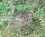 Nest of Greater Scaup Duck, Magdalens [Magdalen Islands, Canada]