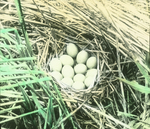 Nest of Mallard, North Dakota