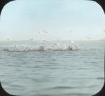 Common Terns at Point of Long Island, N. Manitoba by Herbert Keightley Job