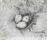 Nest of Gull-billed Tern, Cobbs Island, Virginia