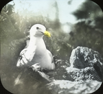 Herring Gull Incubating, Matinicus, Maine